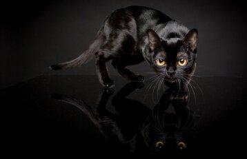Bombėjaus katės: kur slypi šios veislės patrauklumo paslaptis?