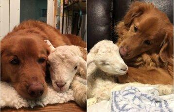 Netikėta draugystė: ėriukas ir šunys prieglaudoje tapo geriausiais draugais