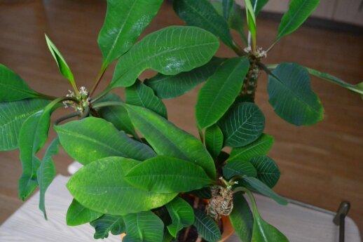 Baltagyslė karpažolė – gan nereiklus ir puošnus kambarinis augalas.