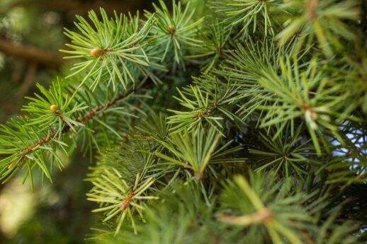 Spygliuočių sodinimo subtilybės: kokius geriau sodinti rudenį
