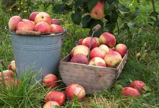 """Neįmanoma atsispirti: marinuoti obuoliai <span style=""""color: #ff0000;""""><strong>(su kopūstais, šermukšniais ar medumi)</strong></span>"""