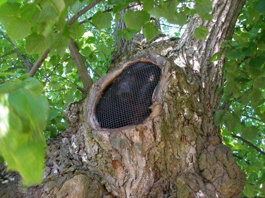 Medžiai moka užsiauginti nupjautas šakų žaizdas, o ertmes ir dreves galima užtaisyti lanksčiu ir kvėpuoti leidžiančiu tinkleliu, kad uokse nesikauptų šiukšlės.