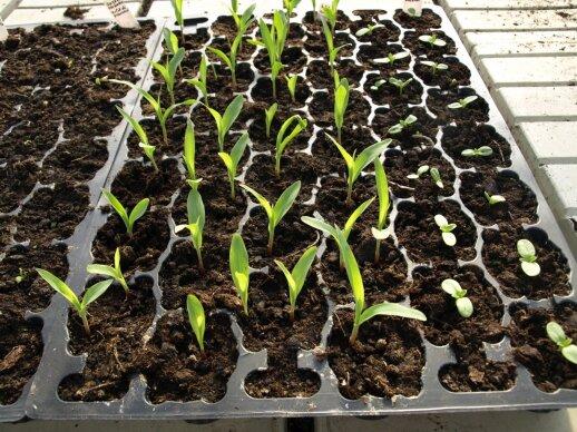 Daigyklose auginami prieskoninių augalų daigai.