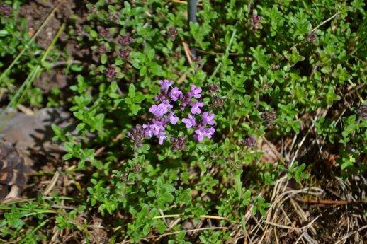 Paprastasis čiobrelis yra dažnas augalas Lietuvoje.