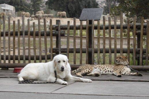 San Diego zoologijos sode - gepardų ir šunų draugystė