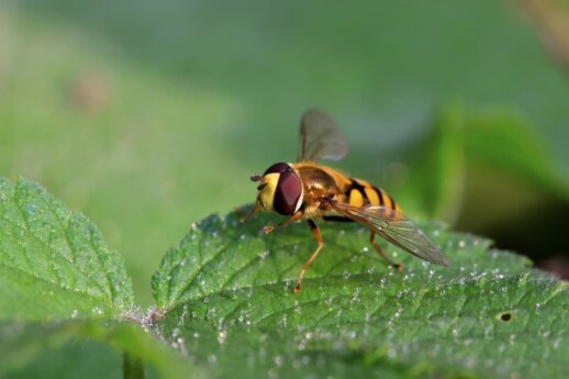 Naudingi sodo vabzdžiai: kaip atpažinti ir prisivilioti