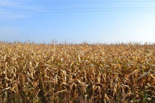 Kukurūzų laukas Marijampolės rajone. Iš šių augalų bus surinktos sėklos kitų metų derliui, o kukurūzų sirupas pas mus, deja,  negaminamas.