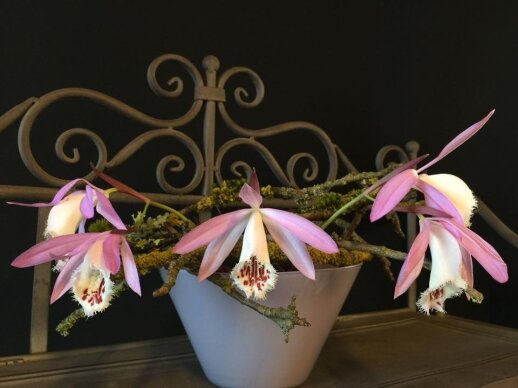 Dabar žydi ne tik falenopsiai: susipažinkite su pleione – svogūnine orchidėja