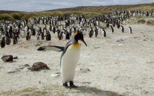 Pingvinai - tikrieji Falklando salų gyventojai