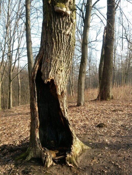 Medžiai yra be galo kantrūs: štai šis ąžuolas Aukštųjų Šančių parke net ir išdegintas piktavalių dar ilgai žaliavo, kol vėtra jį nulaužė.
