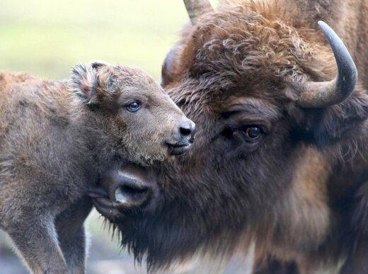 Vos prieš pora dienų gimęs stumbriukas glaustosi prie mamos