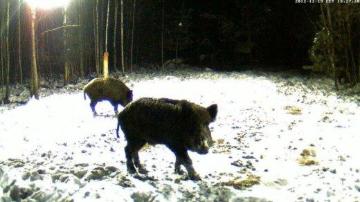 Šiandien dažnas medžiotojas vilioja šernus maistu ir tuomet nušauna pačioje šėrykloje / Tomo nuotr.