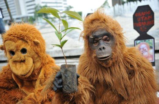 Protestuotojai Indzonezijoje siekia apsaugoti likusius orangutanus