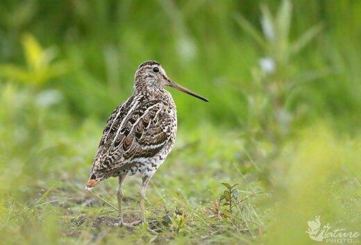 Stulgys - vienas iš Lietuvoje nykstančių paukščių
