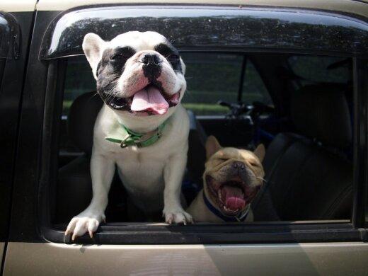 Palaidi gyvūnai automobilio salone kelia grėsmę ir keleivių saugumui