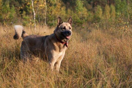 Vakarų Sibiro laika - medžioklinis šuo