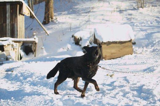 Šuo prie būdos