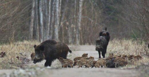 Rusijoje kiaulių maras gali itin pakenkti šalies kiaulininkystės pramonei