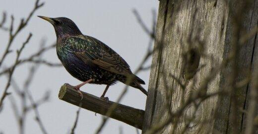 Inkilai paukščiams. Kaip pasigaminti patiems ir teisingai juos iškelti?