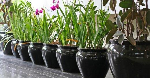 Vazoninės gėlės. Kaip tinkamai persodinti?