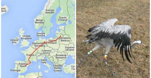 GPS siųstuvas parodė, kur išskrido Lietuvos gervė