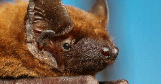 Rudasis nakviša. Per paskutinius du dešimtmečius Lietuvoje užregistruota ne viena nauja šaliai žinduolių rūšis. Kaip taisyklė, tai smulkūs žinduoliai – šikšnosparniai.