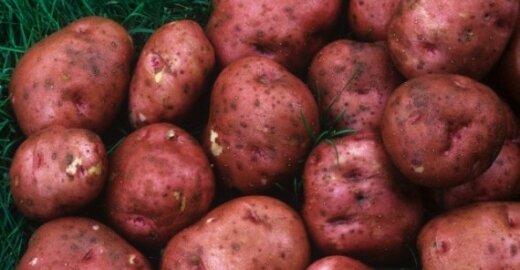 EK aiškinsis, kodėl švedai be leidimo augina genetiškai modifikuotas bulves