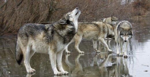 Lietuvoje vyks vilkų apskaita