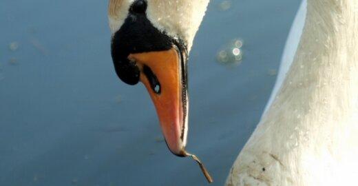 Ornitologas: iš gulbių galima pasimokyti ištikimybės