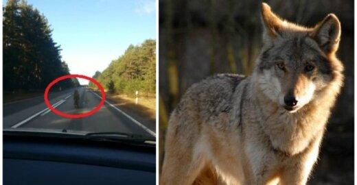 Latvijoje užfiksuotas pabėgęs vilkas - kairėje, dešinėje - S. Paltanavičiaus nuotr.