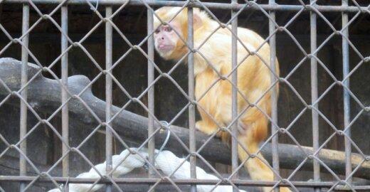 Zoologijos sode homoseksualiai nusiteikusios beždžionės apstulbino kaunietę