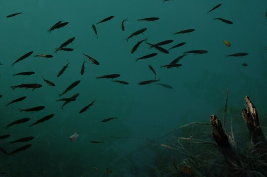Žuvys
