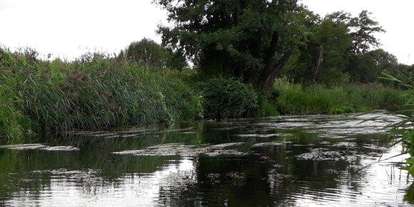 Tarp tokių vandes žolių sažalynų mėgsta tūnoti Šėšupės plėšrūnai
