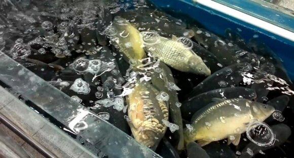 Akvariumuose žuvys patiria stresą ir dėl to nukenčia jų skonis