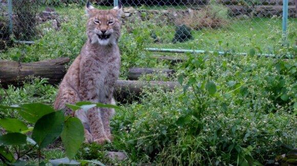 Salantiškiai įsitikinę, jog Mindaugo sodyboje gyvūnai yra prižiūrėti ir laimingi. Nuotraukoje - Eurazinė lūšis