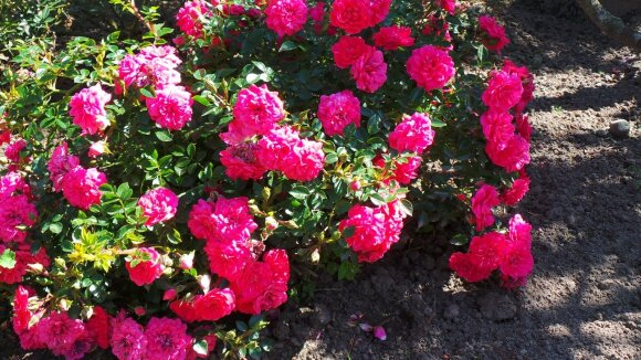 'Knirps' - besidriekianti rožė