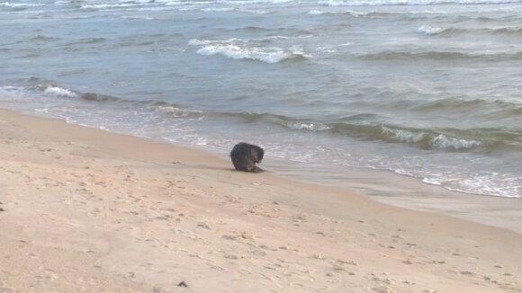 Maudymosi sezoną Palangos paplūdimyje atidarė bebras