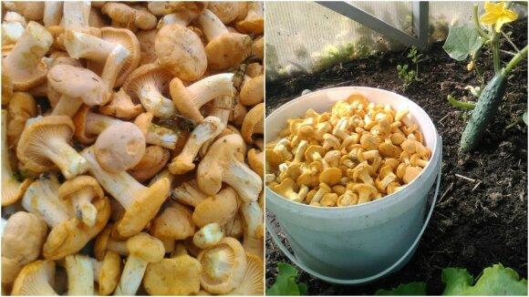 Pirmieji šiemet rasti Danutės Lukauskaitės Dirmeitienės grybai - voveraitės