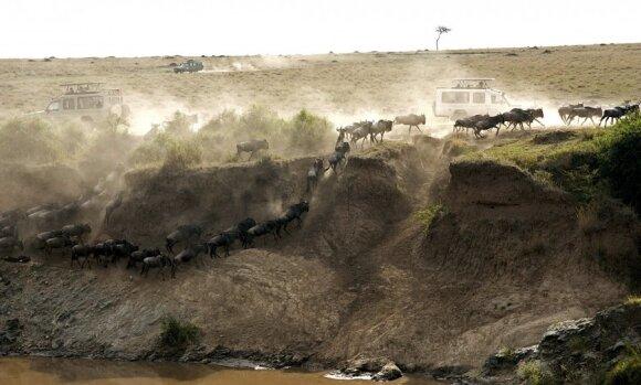 Vienas savanoje: neįtikėtinas būdas apsiginti nuo dramblių ir plėšrūnų