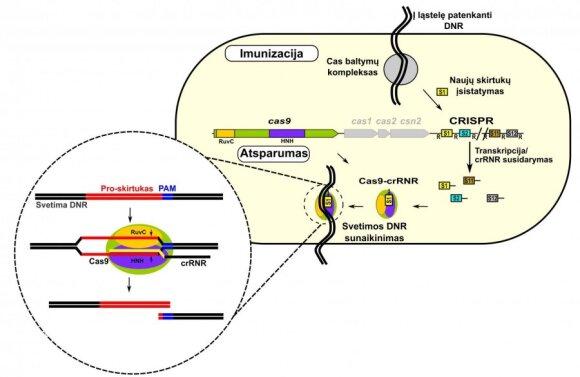 2 pav. CRISPR sistemų veikloje galima išskirti dvi stadijas: imunizacijos ir atsparumo. Imunizacijos stadijoje bakterija į savo genomo CRISPR skirtukų(S)–kartotinių(R) sritį įstato trumpą svetimos DNR sekos fragmentą S1 (naujas skirtukas) ir taip įsimena