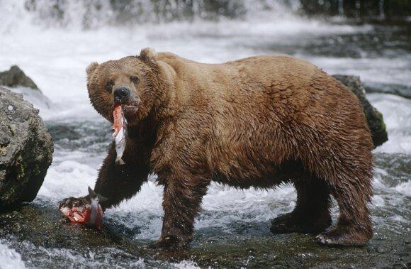 Šiaurėje ėmė poruotis grizliai ir baltieji lokiai.
