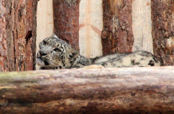 Labai tikimasi, kad snieginiai leopardai veisis