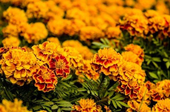 6 gėlės, kurios padeda kovoti su kenkėjais