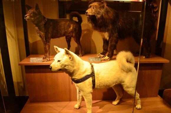 Ištikimojo šuns iškamša vis dar laikoma nacionaliniame Japonijos mokslo muziejuje.