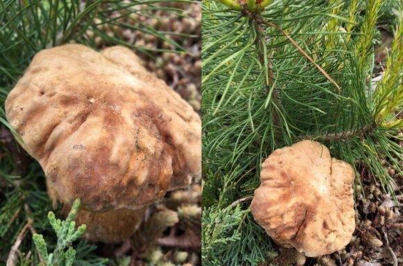 Ruoškitės į mišką: grybautojai rado pirmuosius baravykus
