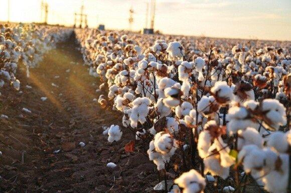 Saulėti medvilnės laukai atrodo įspūdingai, tačiau jiems išauginti reikia didelių kiekių pesticidų. kimberlykv nuotr.