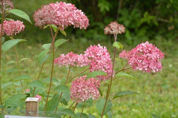 viesioji hortenzija Hydrangea arborescens 'Pink Anabelle'