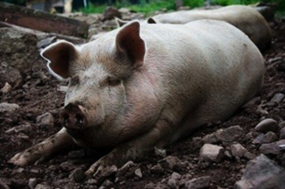 Negyva kiaulė ne juokais išgąsdino veterinarijos specialistus