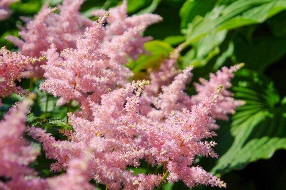 Augalai, kurie sklypą puošia ištisus metus