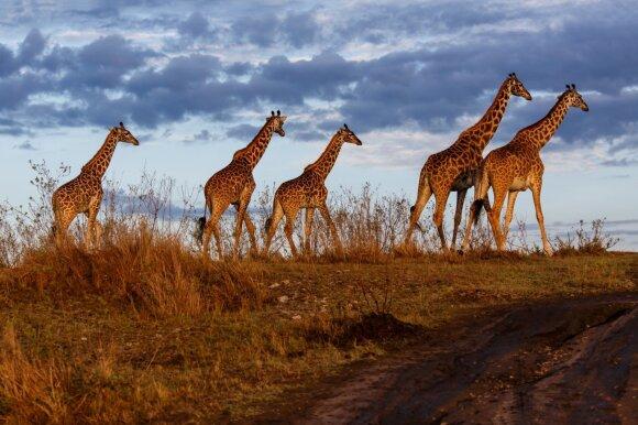 Masai Mara nacionalinis parkas, Kenija